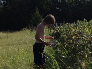 Our son picking wild mustang grapes - a banner year!