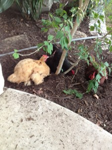 """Buffy, Blackie & Brownie having a """"spa day"""" in the flower bed!"""