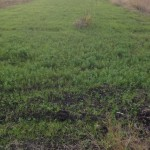 Winter cover crops #2