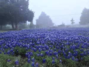 Bluebonnets at Shannon's Farms